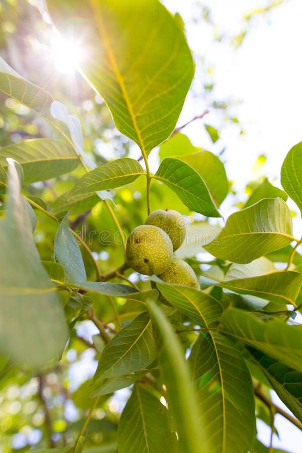 Green walnuts on the branches of a tree royalty free stock images