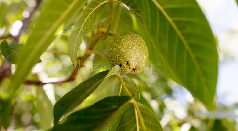 Green walnuts on the branches of a tree stock images