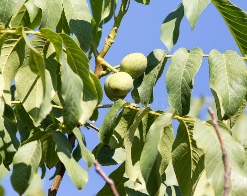 Green walnuts on the tree stock image