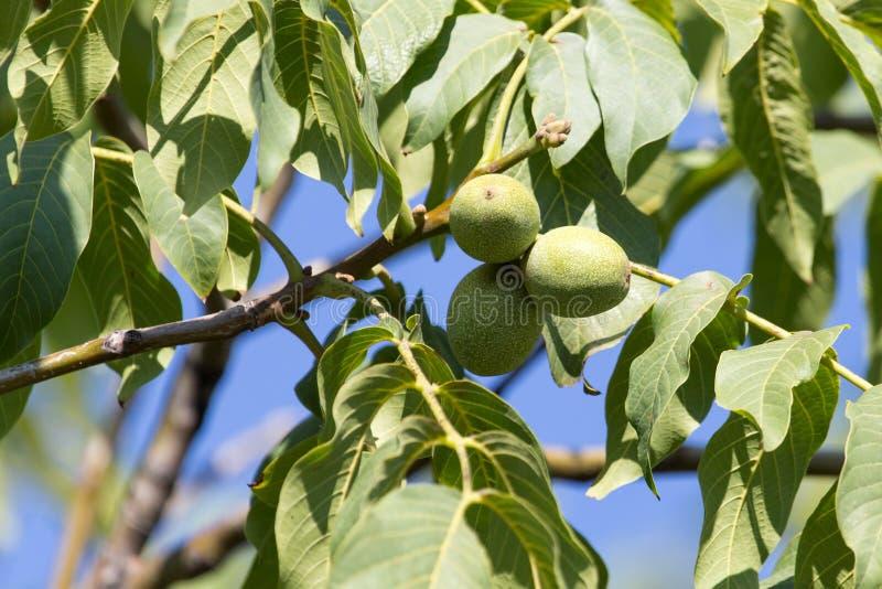 Green walnuts on the tree stock photos