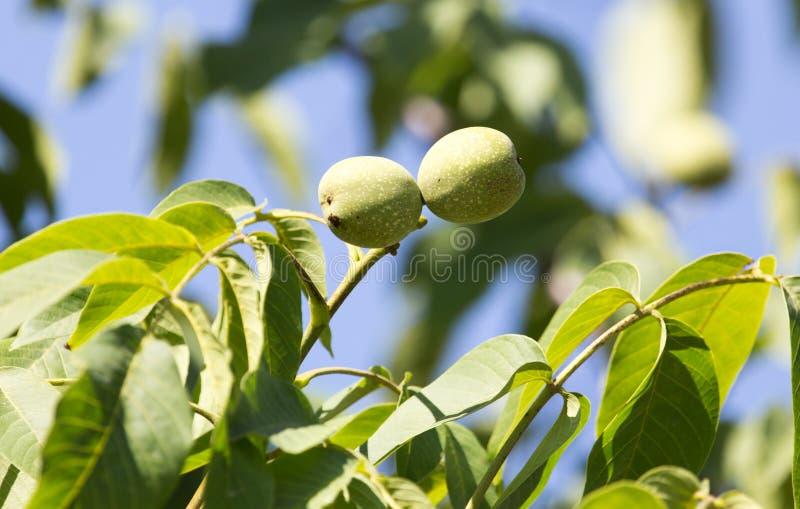 Green walnuts on the tree stock photography