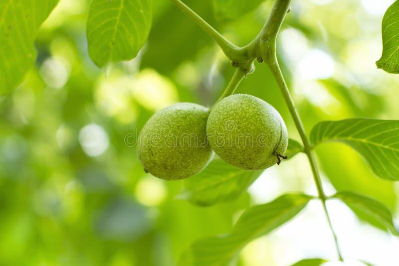 Green walnuts royalty free stock image