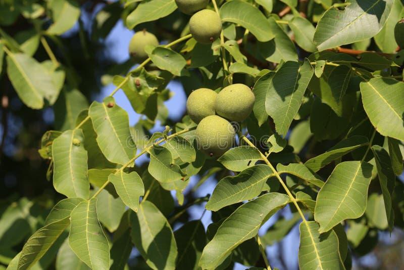 Green walnuts royalty free stock photo