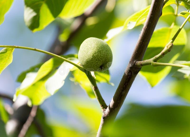 Green walnuts on the tree stock photo