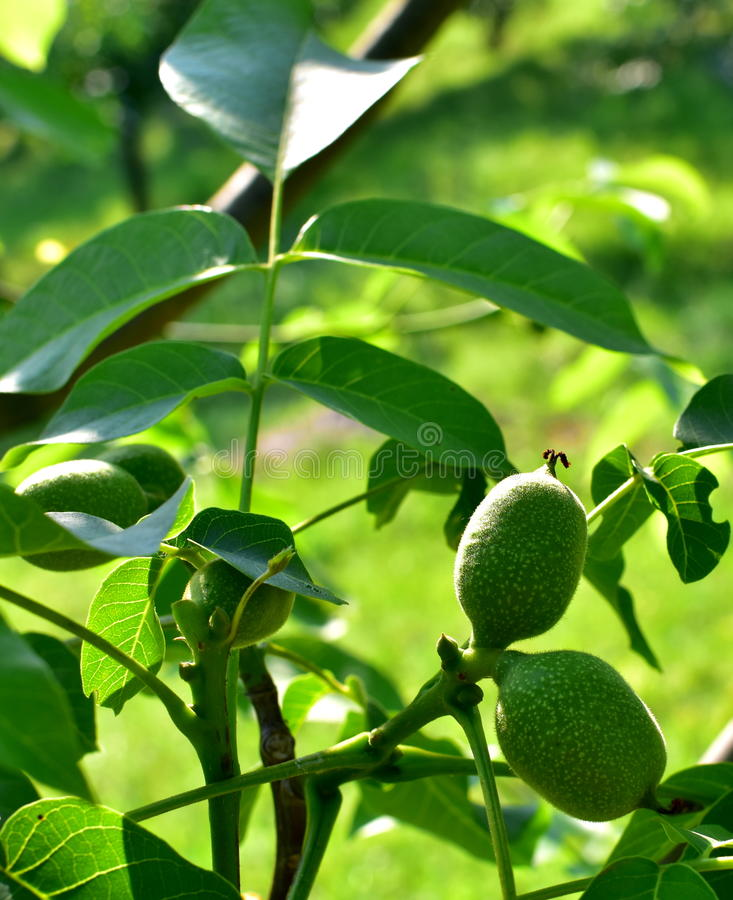 Green walnuts in the tree. Type Fernor. stock photo