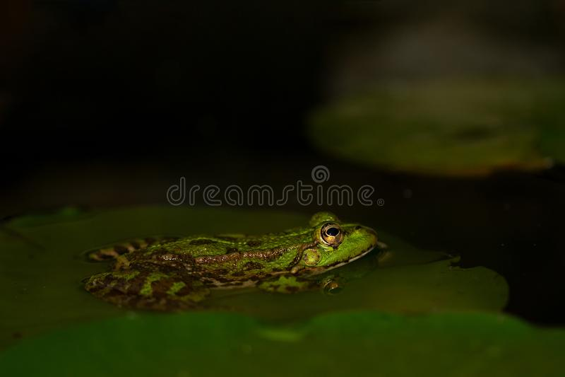 Edible frog Pelophylax kl. esculentus. The Green Water Frog is a natural hybrid klepton of the great water frog and the frog of Leson. It is found in much of stock photography