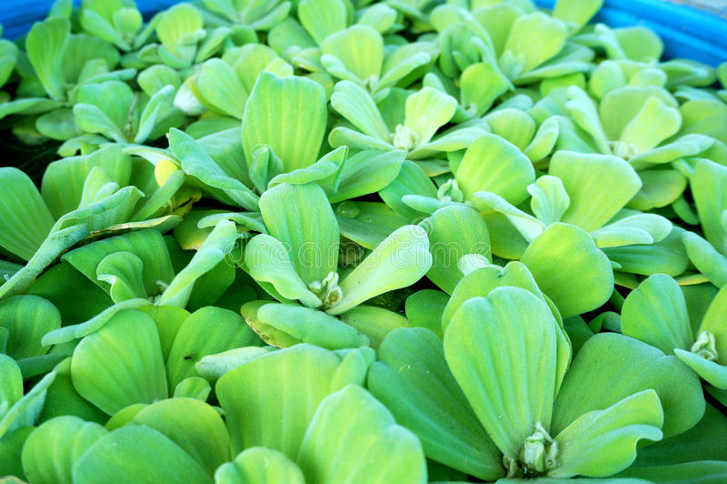 Green water lettuec on the water stock photography