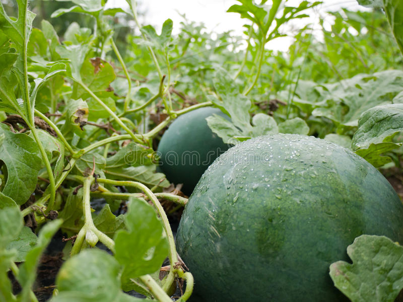 Green water melons royalty free stock photography
