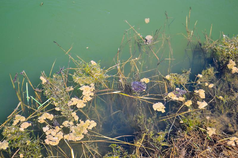 Green water of an old overgrown pond royalty free stock photo