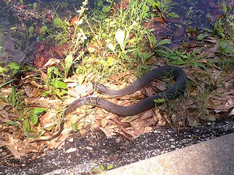 Green Water Snake royalty free stock photo