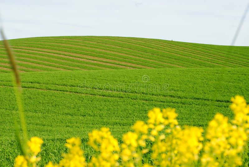 Green wavy field and yellow plants in the front royalty free stock photos