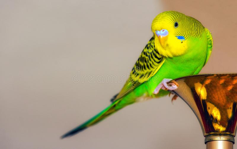 Green wavy parrot. Exotic Bird. Bright colours. Place for text stock image