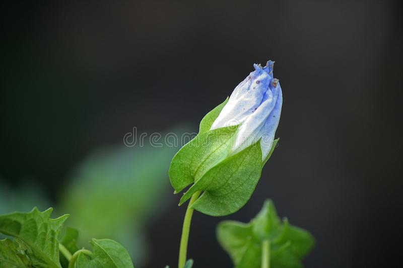 UNOPENED WEED FLOWER. Green weed plant with blue flower stock images