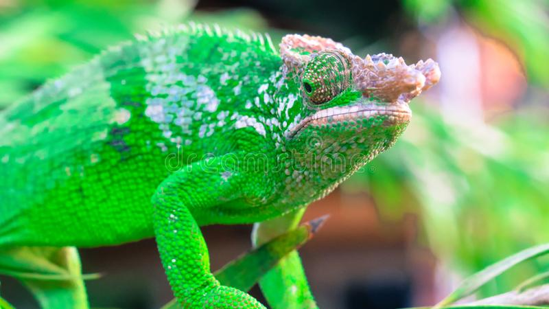 West Usambara two-horned chameleon or West Usambara blade-horned chameleon on stem of branch. stock image