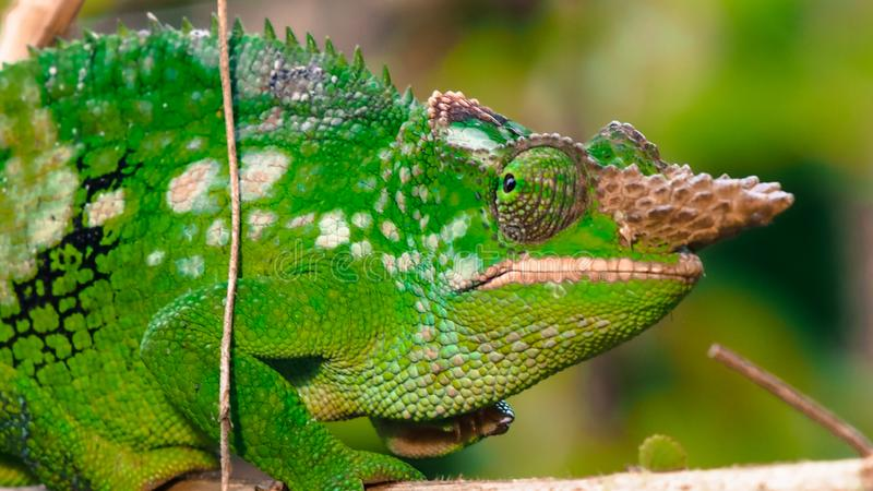 West Usambara two-horned chameleon or West Usambara blade-horned chameleon on stem of branch. stock image