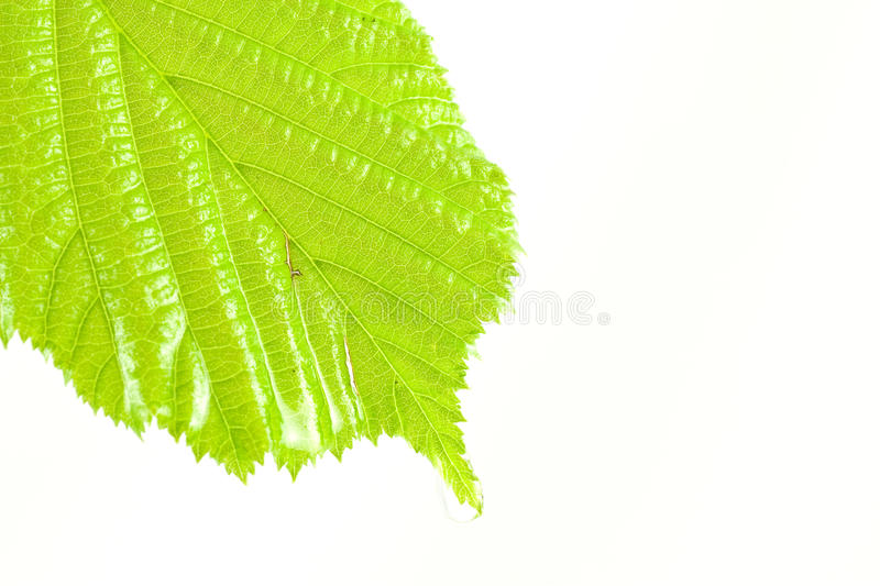 Download Green wet and bright leaf stock photo. Image of chlorophyll - 14320122