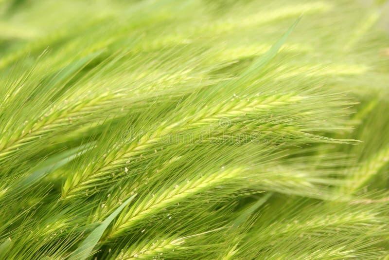 Green wheat stock photos