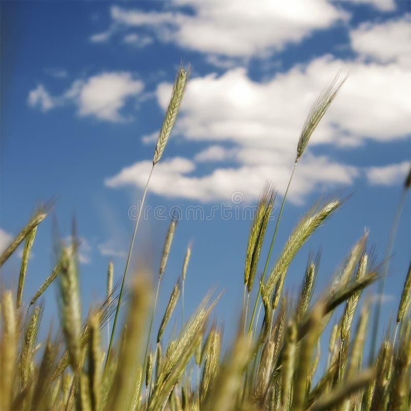 Green wheat royalty free stock photos