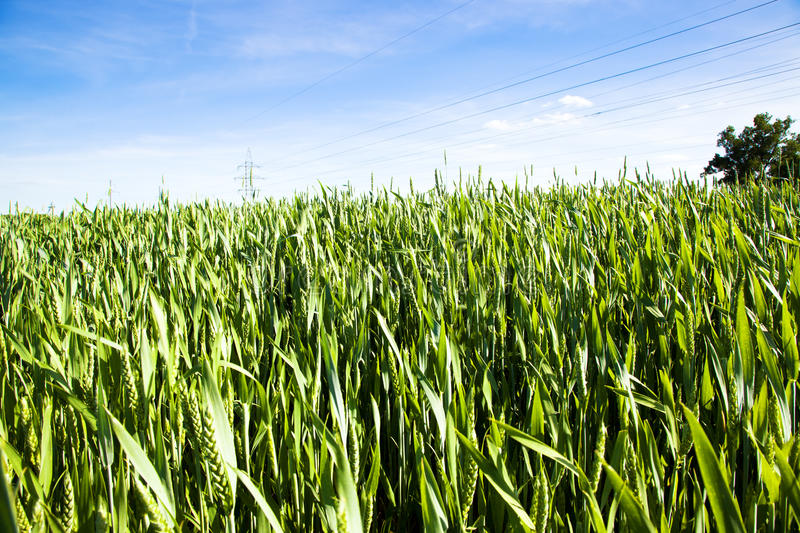 Download Green wheat stock image. Image of closeup, meadow, farm - 22484013
