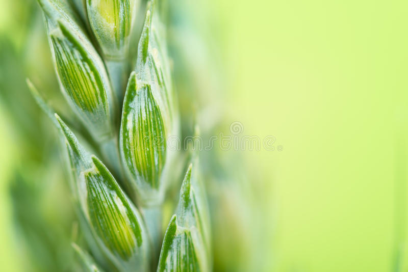 Green wheat close up stock images