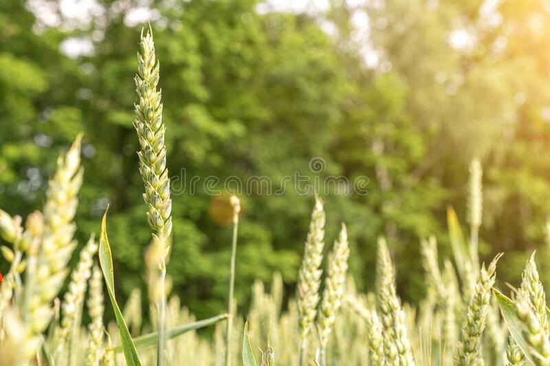 Green wheat crop. Agriculture harvest with cereal plant crop background. Bread rye green grain on golden sky sunset. Green wheat crop. Agriculture harvest with stock image