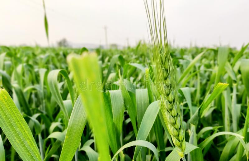 Green Wheat crop field in farm in initial stage wheat in focus closeup stock photography