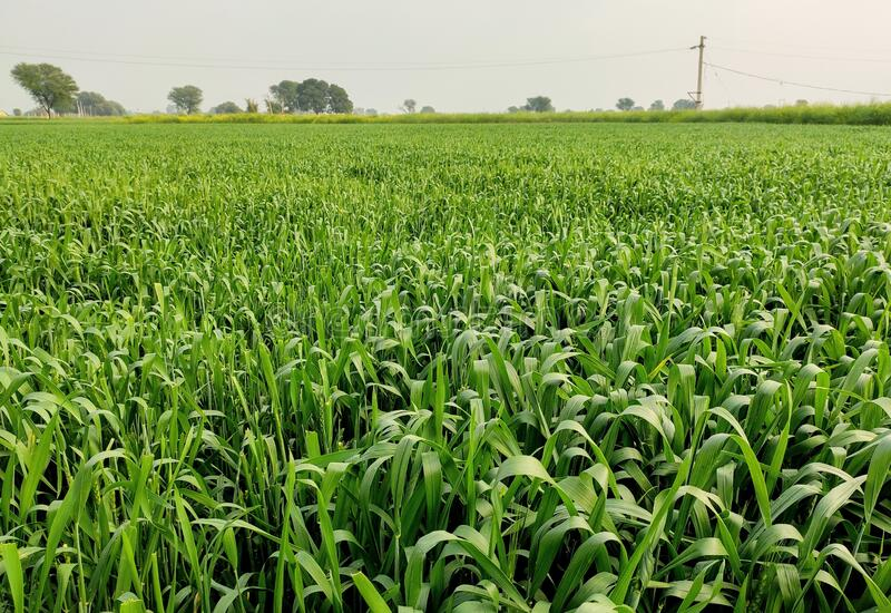Green Wheat crop field in farm in initial stage wheat in focus closeup royalty free stock photos