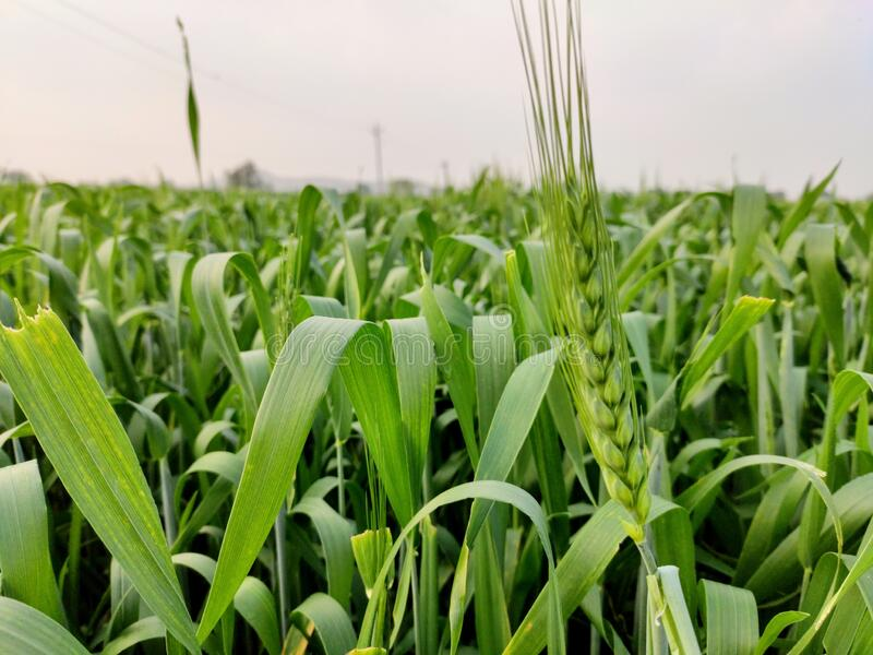Green Wheat crop field in farm in initial stage wheat in focus closeup stock image