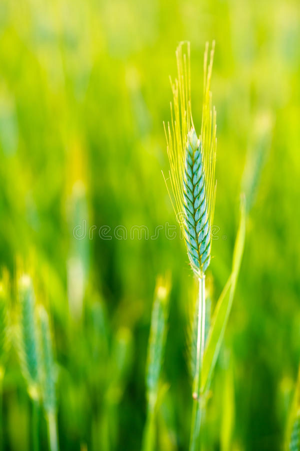 Green wheat ear in field at green background. Late spring, early. Beautiful green wheat ear in field at green background. Late spring, early summer. Agricultural royalty free stock images