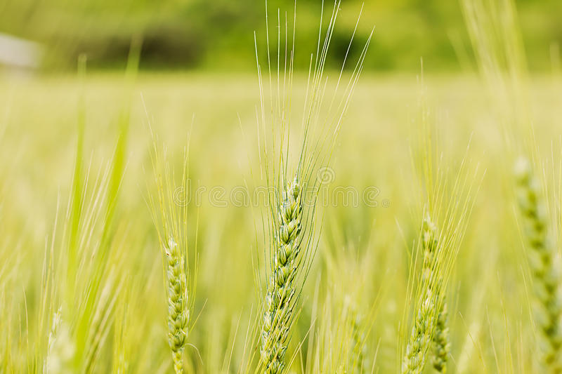 Green wheat ear on the field in summertime stock photo