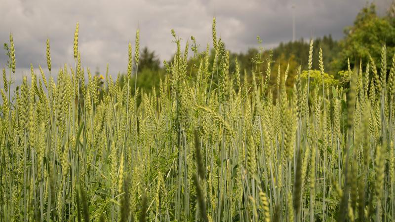 Green wheat ears and black sky stock image