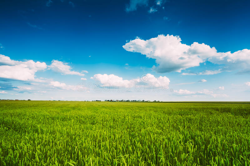 Green Wheat Ears Field, Blue Sky Background. Backdrop Of Green Wheat Ears Field On Cloudy Blue Sky Background. Spring Season royalty free stock photography