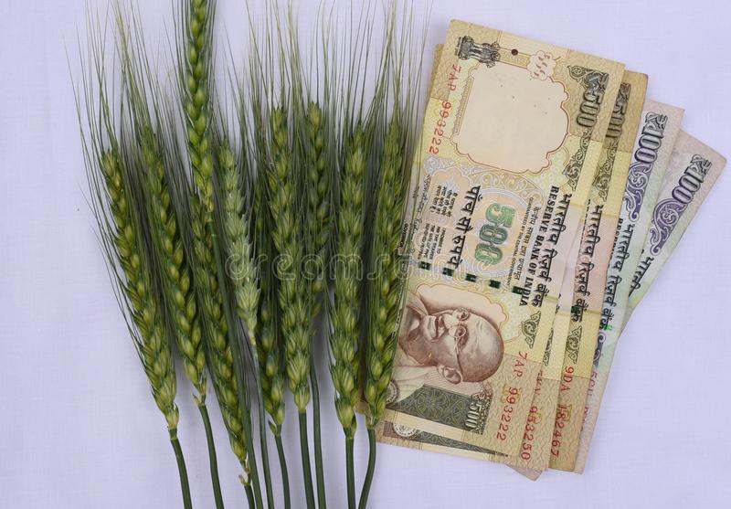 Green wheat ears with Indian money of value 500 and 100 on white backdrop royalty free stock photos