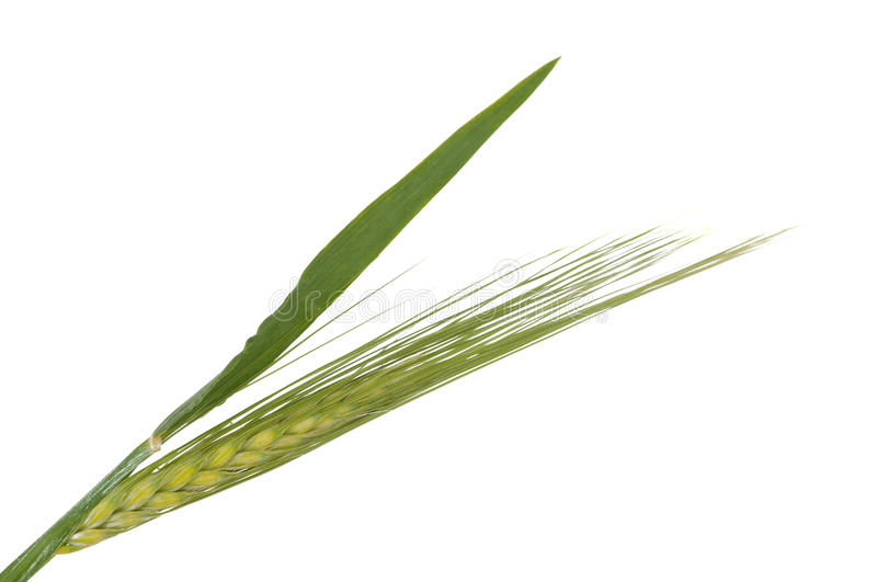 Download Green wheat ears isolated stock image. Image of detail - 25889783
