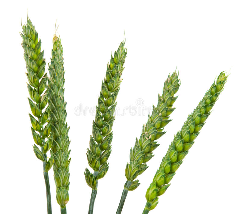 Download Green wheat ears isolated stock image. Image of nobody - 26616893