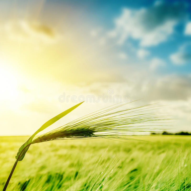 Green wheat ears over field and sunset. Soft focus stock photo