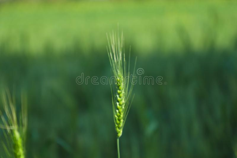 Green wheat farm india royalty free stock images