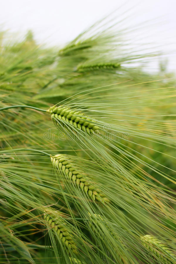 Green wheat field royalty free stock photography