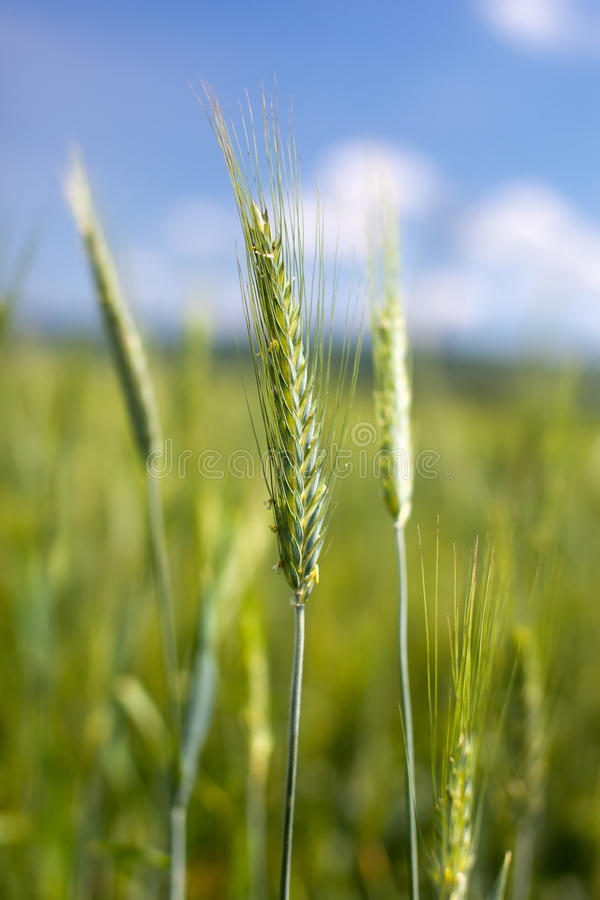 Download Green Wheat Field Stock Photography - Image: 25226562