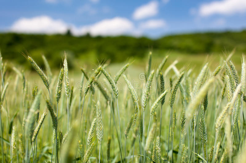 Download Green wheat field stock image. Image of cereal, ears - 25226585