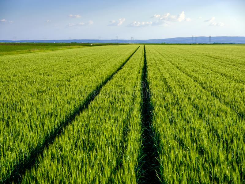 Green wheat field, agricultural landscape.  royalty free stock photography