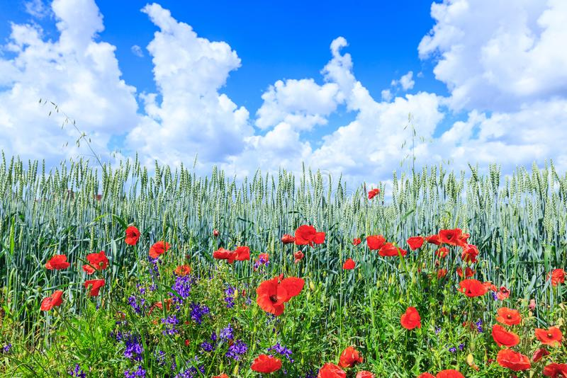 Green wheat in the field. Blue sky with cumulus clouds. Magic summertime landscape. The flowers of the June poppies around stock photos