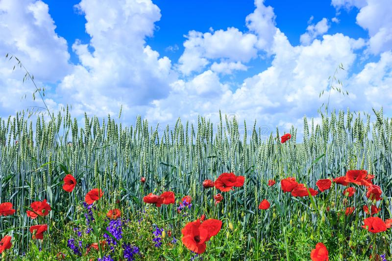Green wheat in the field. Blue sky with cumulus clouds. Magic summertime landscape. The flowers of the June poppies around royalty free stock photos
