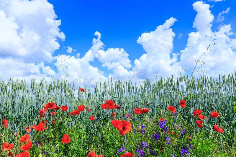 Green wheat in the field. Blue sky with cumulus clouds. Magic summertime landscape. The flowers of the June poppies around stock image