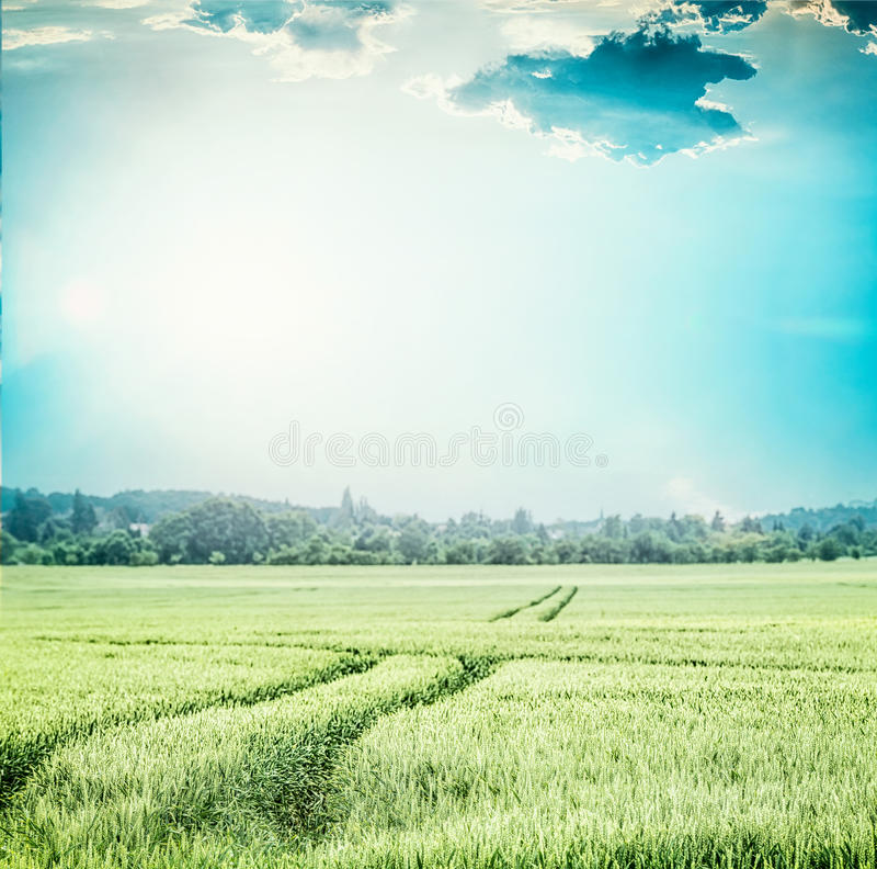 Green wheat field , at blue sky . Rural Agriculture or farming landscape with traces of tractor royalty free stock photography