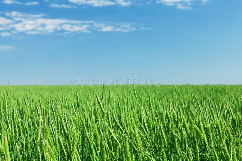 Green wheat field blue sky. On a sunny summer day royalty free stock image