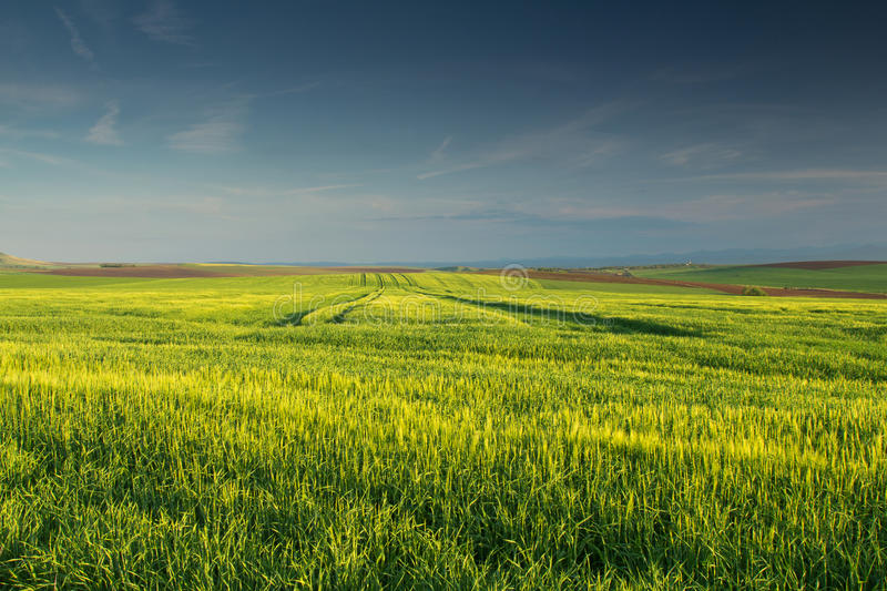 Green wheat field with blues sky and clouds stock image