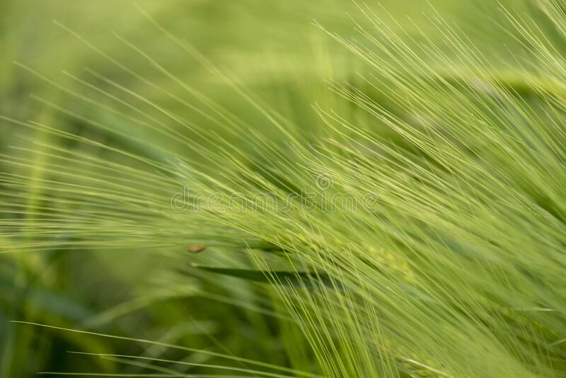 green wheat field close up royalty free stock image
