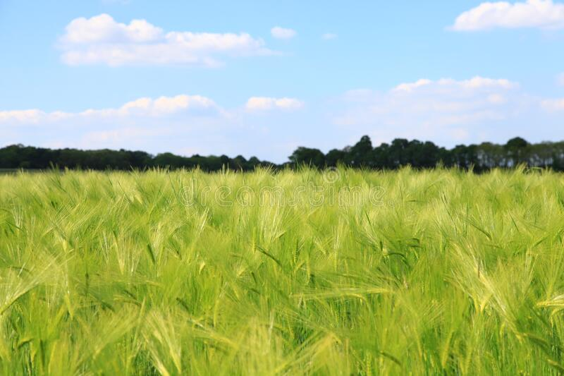 Green wheat field in countryside royalty free stock images