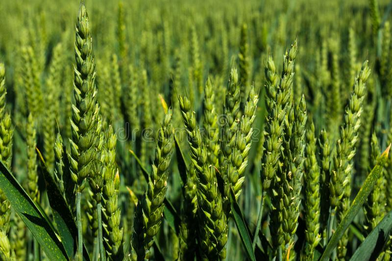 Green wheat field daytime agriculture land closeup. View macro outdoor royalty free stock photography